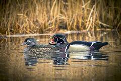 Couples de canard en bois dans l'étang Images stock