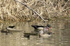 Couples de canard en bois dans le lac Photographie stock