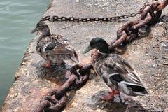 Couples de canard sauvage Photographie stock
