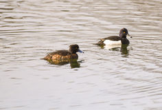 Couples de canard tufté Photo stock