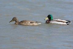 Couples de canards Images libres de droits