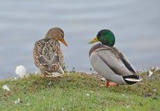 Couples de canards Photographie stock