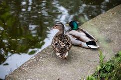 Couples de canards sauvages près de l'eau Photographie stock libre de droits