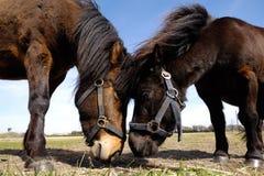 Couples de cheval dans l'amour Images stock