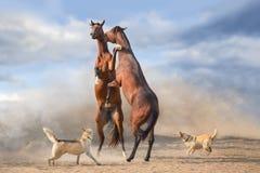 Couples de cheval s'élevant  photo stock