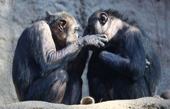 Couples de chimpanzé Photo stock