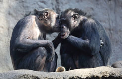 Couples de chimpanzé Photographie stock