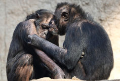 Couples de chimpanzé Photographie stock libre de droits
