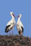 Couples de cigogne blanche Images libres de droits