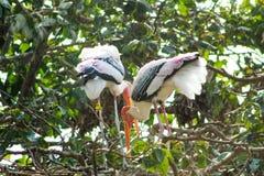 Couples de cigogne se reposant dans un arbre images libres de droits