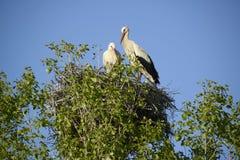 Couples de cigogne sur un nid Images stock