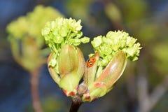 Couples de coccinelle copulant sur des branches d'arbre de châtaigne Photographie stock