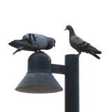 Couples de colombe Image libre de droits