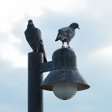 Couples de colombe Photographie stock