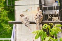 Couples de colombe Photo stock
