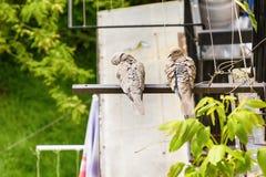 Couples de colombe Photographie stock libre de droits