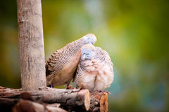 Couples de colombe Photo stock