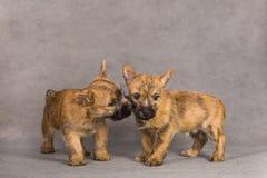 Couples de crabot de chien terrier de cairn Image stock