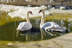 Couples de cygne Images stock