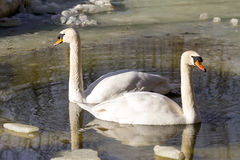 Couples de cygne Photo stock