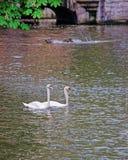 Couples de cygne et quai de l'eau Photographie stock libre de droits