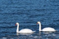 Couples de cygne muet en eau froide Photo stock