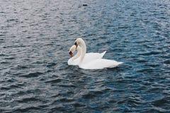 Couples de cygne nageant ensemble sur l'eau en parc Concept d'amour Images libres de droits