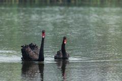 Couples de cygne noir Images libres de droits