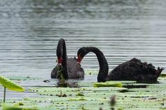 Couples de cygne noir Photo stock