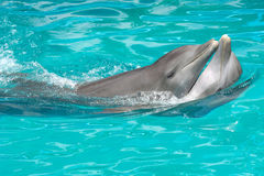 Couples de dauphin dans l'amour Photos stock