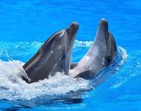 Couples de dauphin dans l'eau bleue. Photographie stock