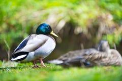 Couples de deux beaux oiseaux de canards sur une pelouse Photographie stock libre de droits
