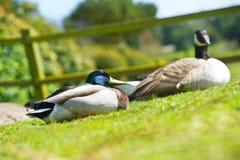 Couples de deux beaux oiseaux de canards sur une pelouse Image stock