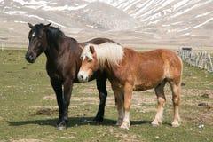 Couples de deux chevaux Photo stock