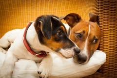 Couples de deux chiens dans l'amour Photographie stock