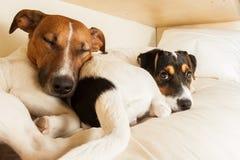 Couples de deux chiens dans l'amour Photo libre de droits