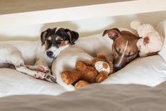 Couples de deux chiens dans l'amour Photographie stock libre de droits