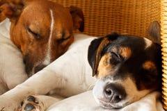 Couples de deux chiens dans l'amour Photo stock