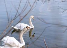 Couples de deux cygnes nageant photographie stock