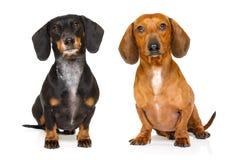 Couples de deux teckels ou chiens de saucisses Photo libre de droits