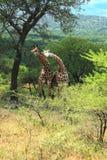 Couples de girafe Image stock