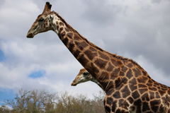 Couples de girafe Photo libre de droits