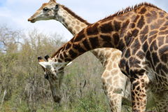 Couples de girafe Images libres de droits