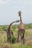 Couples de girafe. Amboseli, Kenya. Image stock