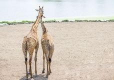 Couples de girafe se tenant ensemble Images stock