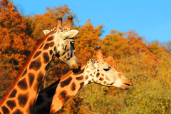 Couples de girafes Image libre de droits