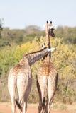 Couples de giraffe Image stock