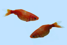 Couples de goldfish Photographie stock