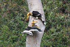 Couples de grand calao en nature dans le thewild Image libre de droits