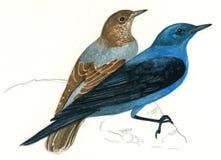 Couples de grive de roche bleue (solitarius de Monticola) Photo libre de droits